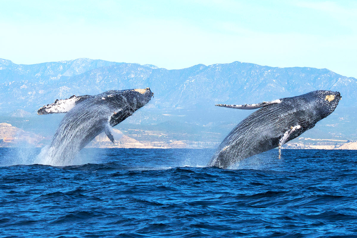 Gray Whale where to go in los cabos